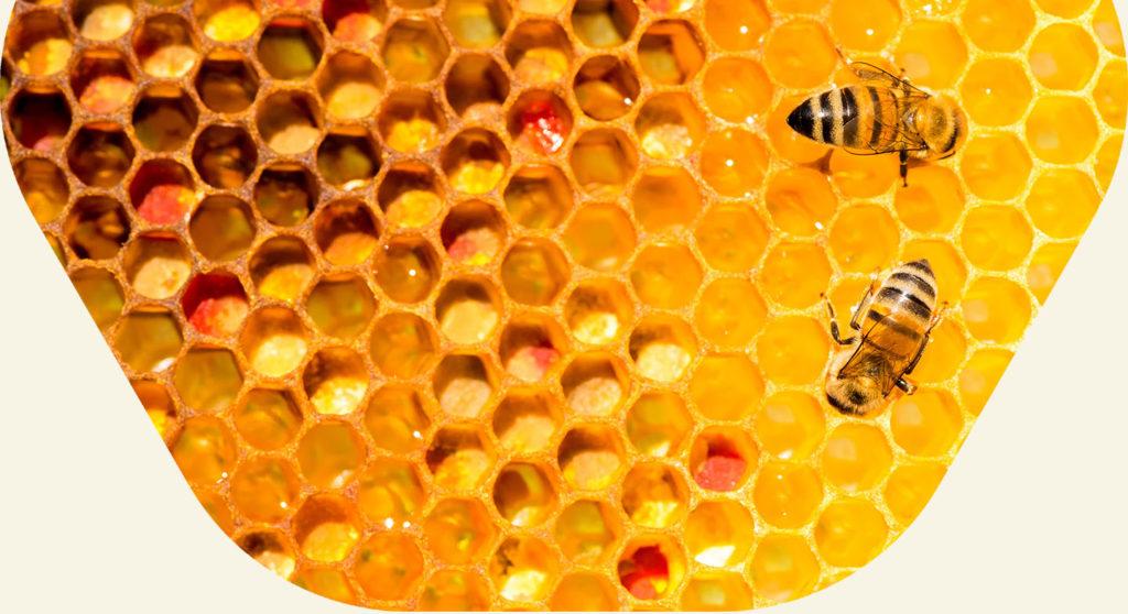 Dos abejas obreras