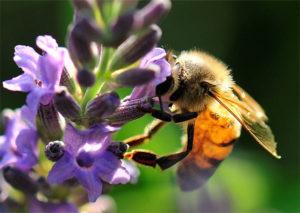 Biene mit Flügeln von Varroa gefressen